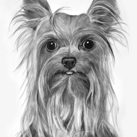 retratos-de-mascotas-yorkshire